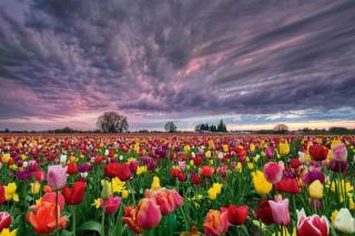 flower-tulip-fields-netherlands-6